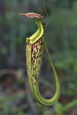Pitcher Plant (Nepenthes sp) trap, Bako National Park, Sarawak, Malaysia  -  Thomas Marent