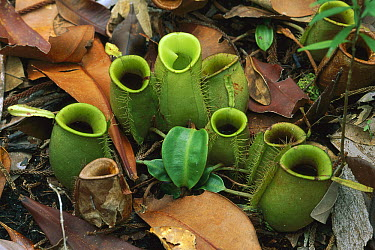 Flask-shaped Pitcher Plant (Nepenthes ampullaria) traps on forest floor, Bako National Park, Sarawak, Borneo  -  Thomas Marent