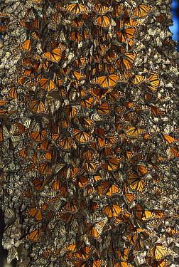 Monarch (Danaus plexippus) butterfly cluster, Michoacan, Mexico  -  Thomas Marent