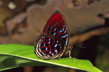 Malay Red Harlequin (Paralaxita damajanti), Gunung Mulu National Park, Borneo, Malaysia  -  Thomas Marent