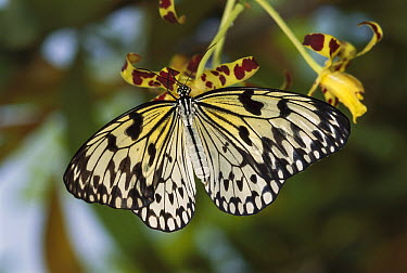 Paper Kite (Idea leuconoe) butterfly, Borneo, Malaysia  -  Thomas Marent