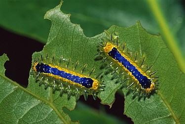 Moth caterpillar pair eating leaf, Rurrenabaque, Bolivia  -  Thomas Marent