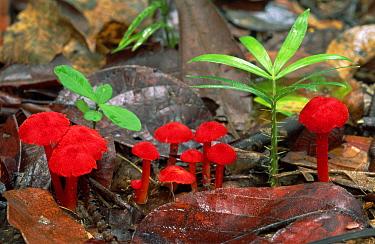 Red mushrooms on forest floor, Mission Beach, Australia  -  Thomas Marent