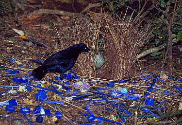 Satin Bowerbird (Ptilonorhynchus violaceus) male showing bower and decorations off to female, Lamington National Park, Australia  -  Thomas Marent