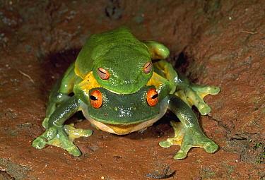 Australian Red-eyed Treefrog (Litoria chloris) pair in amplexus, Lamington National Park, Australia  -  Thomas Marent