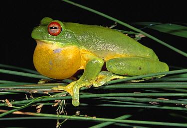 Australian Red-eyed Treefrog (Litoria chloris) calling, Lamington National Park, Australia  -  Thomas Marent