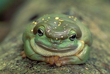 Magnificent Tree Frog (Litoria splendida) portrait, Australia  -  Thomas Marent