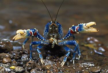 Lamington Spiny Crayfish (Euastacus sulcatus) in defensive posture, Lamington National Park, Australia  -  Thomas Marent