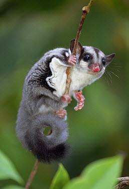Sugar Glider (Petaurus breviceps) clinging to branch, Crater Mountain, Papua New Guinea  -  Thomas Marent
