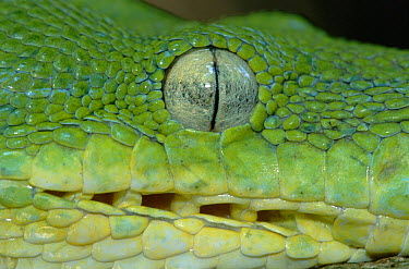 Green Tree Python (Chondropython viridis) close up of face showing vertical pupil and row of heat sensors, Lae, Papua New Guinea  -  Thomas Marent