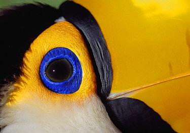 Toco Toucan (Ramphastos toco) face, Pantanal, Brazil  -  Thomas Marent
