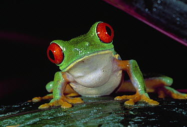 Red-eyed Tree Frog (Agalychnis callidryas), Cahuita National Park, Costa Rica  -  Thomas Marent