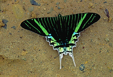 Day-flying Moth (Urania leilus) sipping minerals from soil, Rurrenabaque, Bolivia  -  Thomas Marent