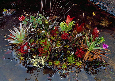 Isolated plant community including bromeliads amd mosses, Roraima Mountain, Canaima National Park, Venezuela  -  Thomas Marent