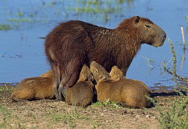 Capybara (Hydrochoerus hydrochaeris) young nursing, Los Llanos, Venezuela  -  Thomas Marent