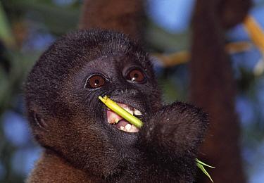 Humboldt's Woolly Monkey (Lagothrix lagotricha) baby feeding, Amacayacu National Park, Colombia  -  Thomas Marent