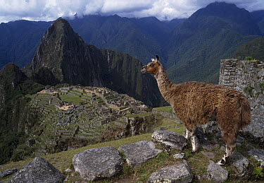 Llama (Lama glama) overlooking the ruins of Machu Picchu, Peru  -  Thomas Marent