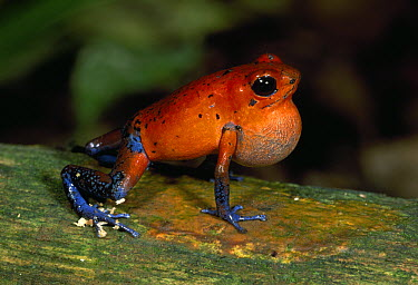 Strawberry Poison Dart Frog (Oophaga pumilio) croaking, Braulio Carrillo National Park, Costa Rica  -  Thomas Marent