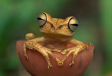 Gunther's Banded Treefrog (Hypsiboas fasciatus) sitting in mushroom, Tambopata National Reserve, Peru  -  Thomas Marent
