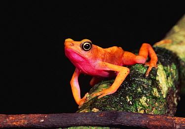 Cayenne Stubfoot Toad (Atelopus flavescens), Kaw, French Guiana  -  Thomas Marent