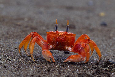 Ghost Crab (Ocypode sp) on the beach, Isla de la Plata, Ecuador  -  Thomas Marent