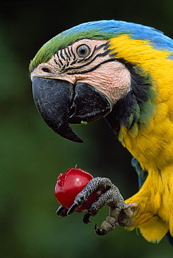 Blue and Yellow Macaw (Ara ararauna) eating fruit, Tambopata National Reserve, Peru  -  Thomas Marent