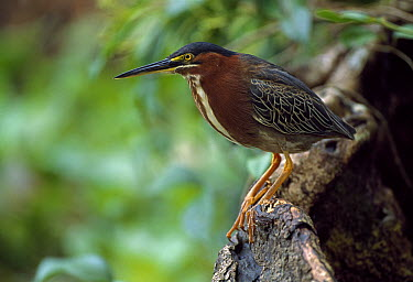 Green Heron (Butorides virescens), Tortuguero National Park, Costa Rica  -  Thomas Marent