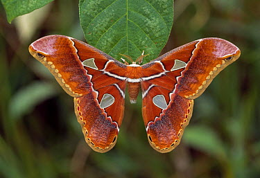 Saturniid Moth (Rothschildia hesperus), French Guiana  -  Thomas Marent