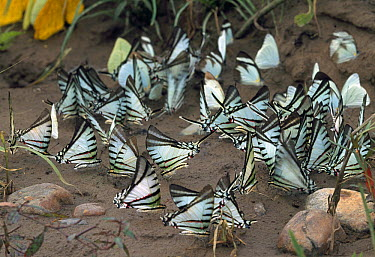 Butterfly (Eurytides sp) group sipping minerals from ground, Manu National Park, Peru  -  Thomas Marent