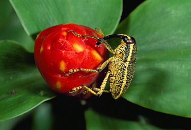 True Weevil (Curculionidae) feeding on flower, Soberania National Park, Panama  -  Thomas Marent