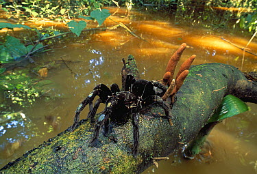 Columbian Lesser Black Tarantula (Xenesthis immanis) on log in flooded forest, Tambopata National Reserve, Peru  -  Thomas Marent