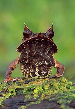 Asian Horned Frog (Megophrys nasuta) portrait, Gunung Gading National Park, Sarawak, Borneo, Malaysia  -  Thomas Marent