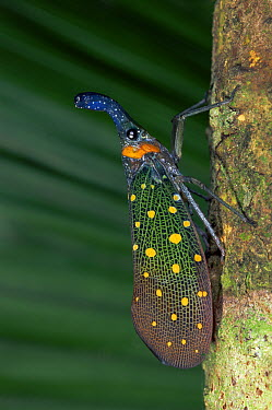 Lantern Bug (Fulgora sp) on tree trunk, Sabah, Borneo, Malaysia  -  Thomas Marent