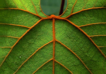 Leaf showing ribs and veination, Niah National Park, Borneo, Malaysia  -  Thomas Marent