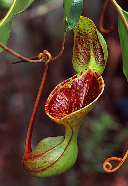 Low's Pitcher Plant (Nepenthes lowii), Sabah, Borneo, Malaysia  -  Thomas Marent