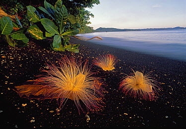 Sea Putat (Barringtonia asiatica) flowers on volcanic black sand beach, Tangkoko Nature Reserve, Sulawesi, Indonesia  -  Thomas Marent