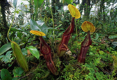 Mount Singgalang Pitcher Plant (Nepenthes singalana) group, Kerinci Seblat National Park, Sumatra, Indonesia  -  Thomas Marent
