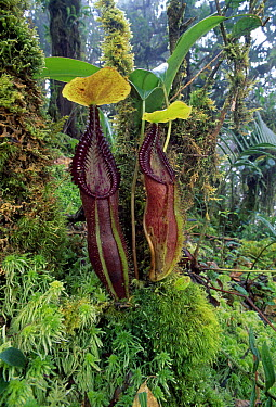 Mount Singgalang Pitcher Plant (Nepenthes singalana) pair, Kerinci Seblat National Park, Sumatra, Indonesia  -  Thomas Marent