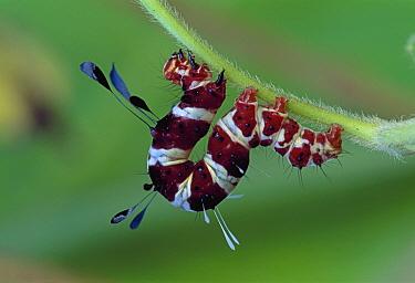 Noctuid Moth (Noctuidae) caterpillar climbing, Mombasa, Kenya  -  Thomas Marent