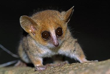 Pygmy Mouse Lemur (Microcebus myoxinus) portrait, Morondava, Madagascar  -  Thomas Marent