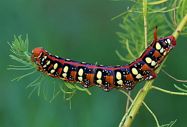 Leafy Spurge Hawk Moth (Hyles euphorbiae) caterpillar feeding, Switzerland  -  Thomas Marent