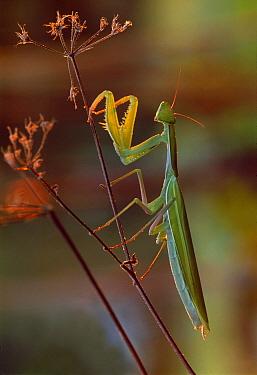 European Mantid (Mantis religiosa), Switzerland  -  Thomas Marent