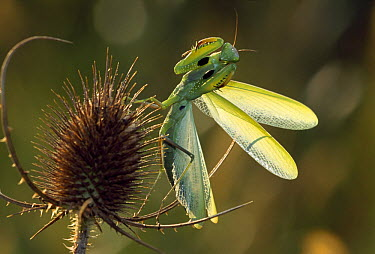 European Mantid (Mantis religiosa) in defensive posture on thistle, Switzerland  -  Thomas Marent