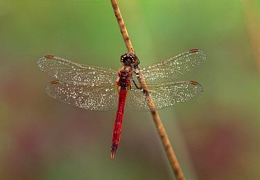 Eurasian Red Dragonfly (Sympetrum depressiusculum) male on reed, Switzerland  -  Thomas Marent