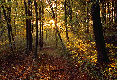Beech (Fagus sp) forest in autumn, Switzerland  -  Thomas Marent