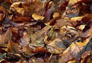 Common Frog (Rana temporaria) camouflaged in leaf litter, Switzerland  -  Thomas Marent