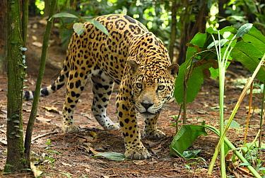 Jaguar (Panthera onca) peering through brush, Belize  -  Thomas Marent
