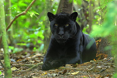 Jaguar (Panthera onca), black color morph, resting on forest floor, Belize  -  Thomas Marent