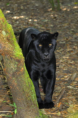 Jaguar (Panthera onca), black color morph, standing on forest floor, Belize  -  Thomas Marent