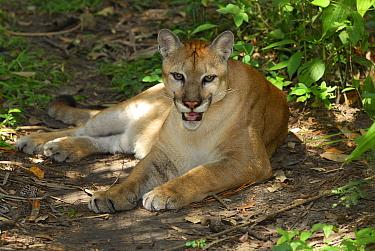 Mountain Lion (Puma concolor) resting on forest floor, Belize  -  Thomas Marent